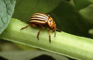 Colorado_potato_beetle