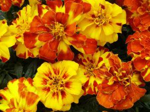 Marigold-